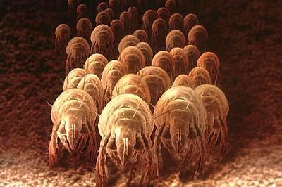 Пылевые клещи в постельном белье