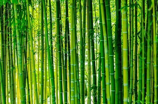 Фото: бамбук